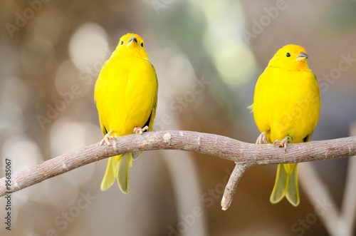 Fotografia  2 Yellow Birds on a Branch
