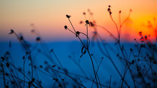 Silhouette Of Dried Flowers An...