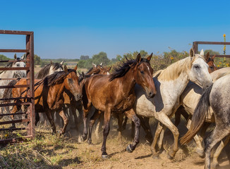 A herd of horses runs out of the corral. The movement of the open gate.