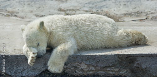 Sweet dreams of a polar bear cub. The cute and cuddly animal baby, which is going to be the most dangerous and biggest beast of the world. Careless childhood of a live plush teddy.
