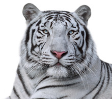 White Bengal Tiger, Isolated On White Background. Beautiful Big Cat With Blue Eyes And Pink Nose. Dengerous And Severe Beast.