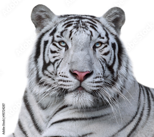 Foto op Aluminium Tijger White bengal tiger, isolated on white background. Beautiful big cat with blue eyes and pink nose. Dengerous and severe beast.