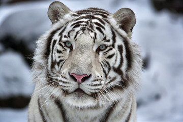 Fototapeta Glamour portrait of a young white bengal tiger