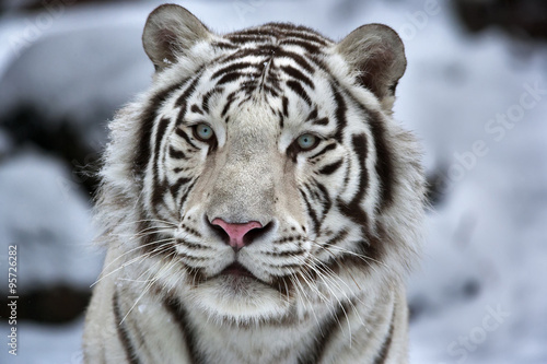 Glamour portrait of a young white bengal tiger Canvas Print