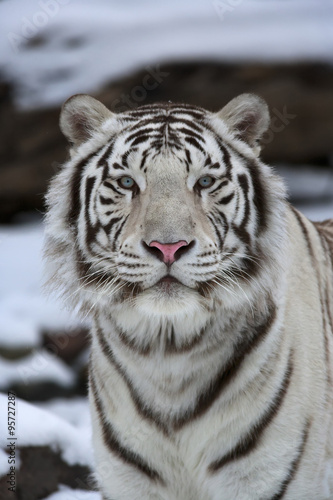 In de dag Tijger Fresh look at the world of a young white bengal tiger.