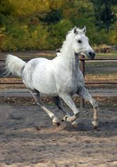 Arabian sportive racehorse in corral