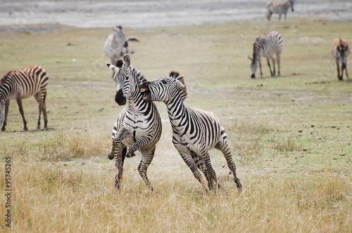 Canvas Print Zebras Fighting - Ngorongoro Crater - Tanzania