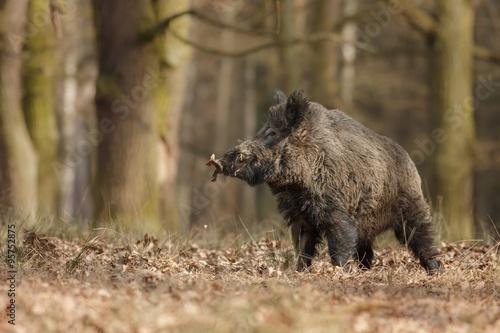 Obraz Wild boar/wild boar - fototapety do salonu