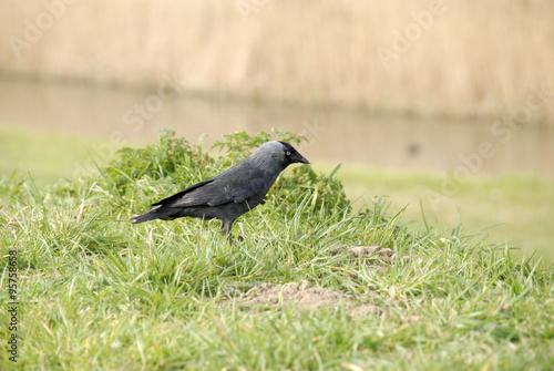 Fototapeten Natur een zwarte vogel, kraai, roek, kauw op het gras
