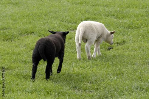 Aluminium Prints Sheep Het zwarte lam loopt achter het witte lam aan in de wei