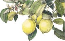 Watercolor Lemons Vector
