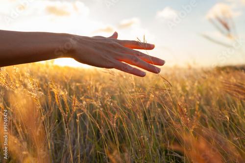 Hand in wheat field. Fototapet