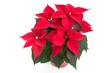 canvas print picture - Weihnachtsstern (Euphorbia pulcherrima)