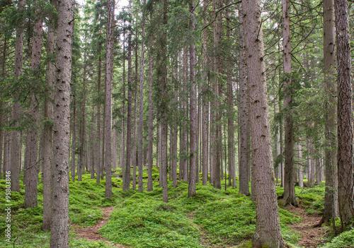 Garden Poster Forest Fir forest