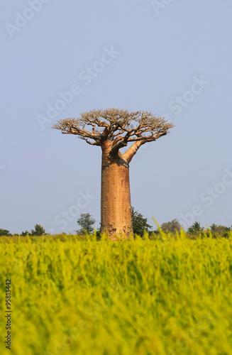 Keuken foto achterwand Baobab Baobab tree in Madagascar