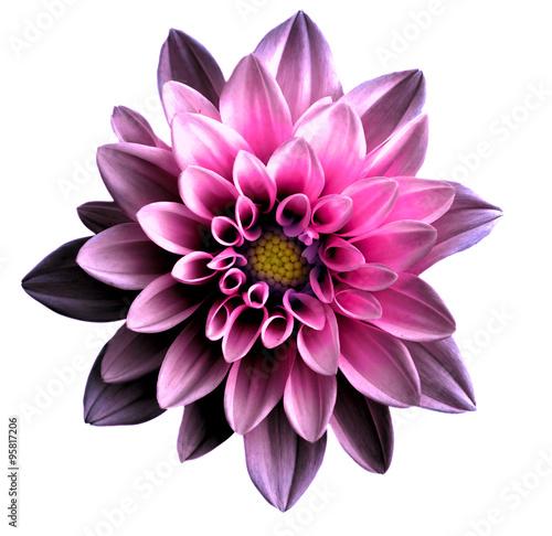 Papiers peints Dahlia Surreal dark chrome pink flower dahlia macro isolated on white
