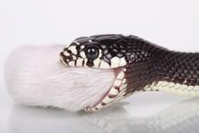 Desert Snake Eating
