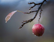 Red Delicious Apple In The Rain