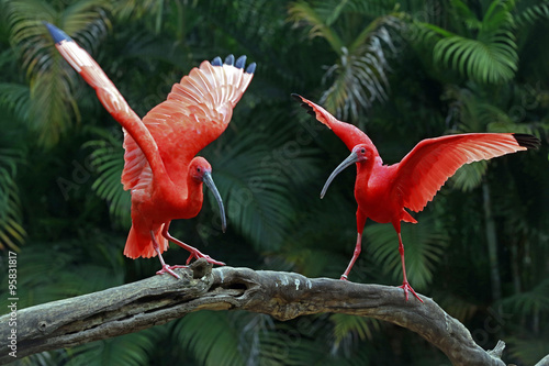 Photo  Scarlet ibis bird