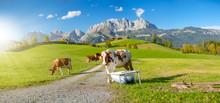 Kühe Vor Wilder Kaiser