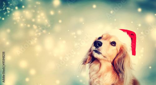 Photo  Dachshund dog wearing Santa hat