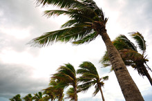 Palm Tree At The Hurricane, Bl...