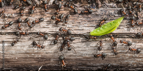 Colony of red wood ants fighting over a green leaf Wallpaper Mural