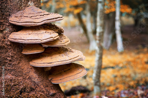 Fototapeta  Bracket fungus on beech tree