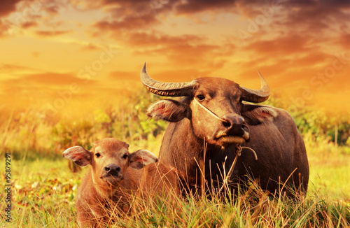 Keuken foto achterwand Buffel High-dynamic-range imaging,Buffalo on the grass sunset background