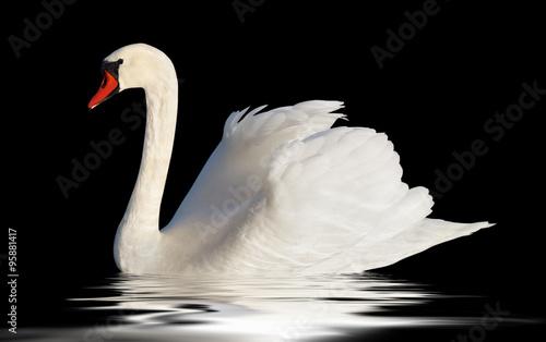 Poster Cygne Fluffy white swan.