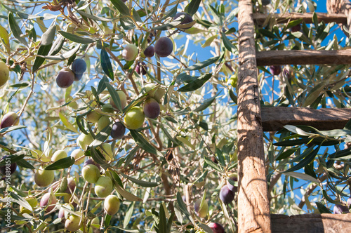 Tuinposter Olijfboom Close up view of some olives on a tree and a wooden ladder leaned on it
