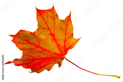Foto op Canvas Madeliefjes autumn leaf maple isolated on white background