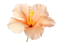 Hibiscus Blossom Isolated On A White Background