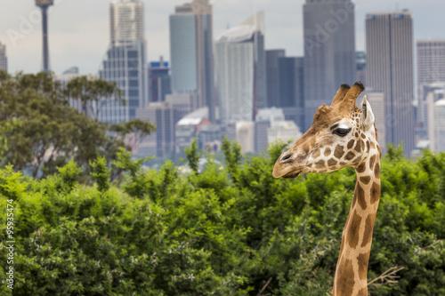 Plakat  SYDNEY, AUSTRALIA - 27 grudnia 2015. Żyrafy w Taronga Zoo w