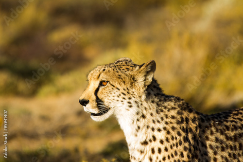 Safari - Cheetah
