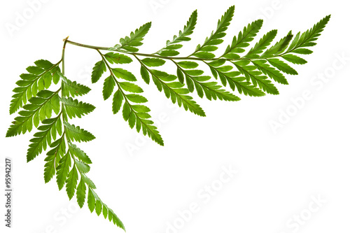Obraz green fern leaf isolated - fototapety do salonu