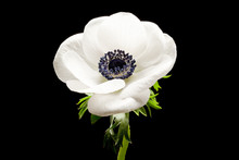 Black And White Anemone Isolat...
