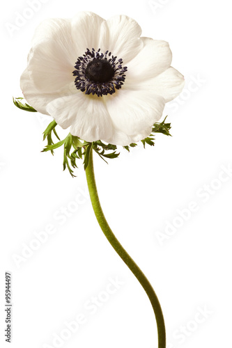 Obraz na plátně Black and White Anemone Isolated on a White Background