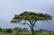 Umbrella Thorn Acacia Tree On African Savanna