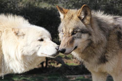 Photo  Wolf Kiss Alaskan Gray Wolves