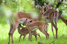 Baby Impala Drinking Milk, Another One Waiting For Its Turn, Mosi-oa Tunya Nation Park, Zambia, Africa