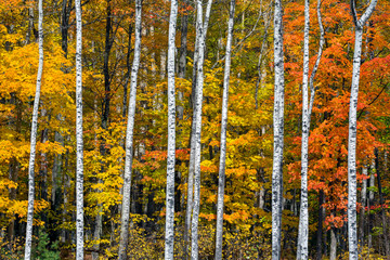 Fototapeta Autumn White Birch Wood