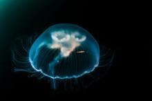 Tiny Shrimp Riding Jellyfish