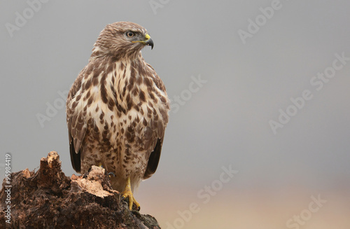 Fotografía  Common buzzard (buteo buteo)