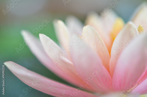 Foto op Aluminium Lotusbloem Pink lotus blossoms or water lily flowers blooming on pond