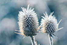 Thorn In Frost Cold Autumn Mor...