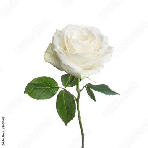 Obraz na płótnie single white rose  isolated  background