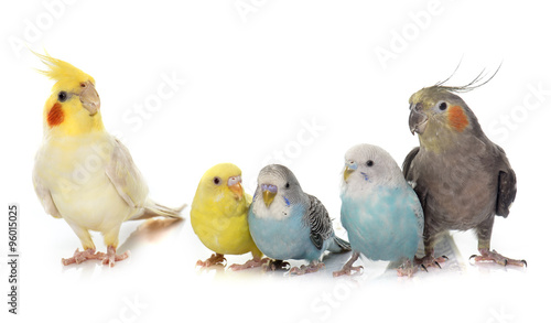 Fotografía common pet parakeet and Cockatiel