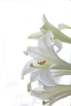 A Macro Photograph Of Three Easter Lillies With A White Background