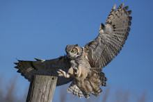 Great Horned Owl  (Bubo Virgin...